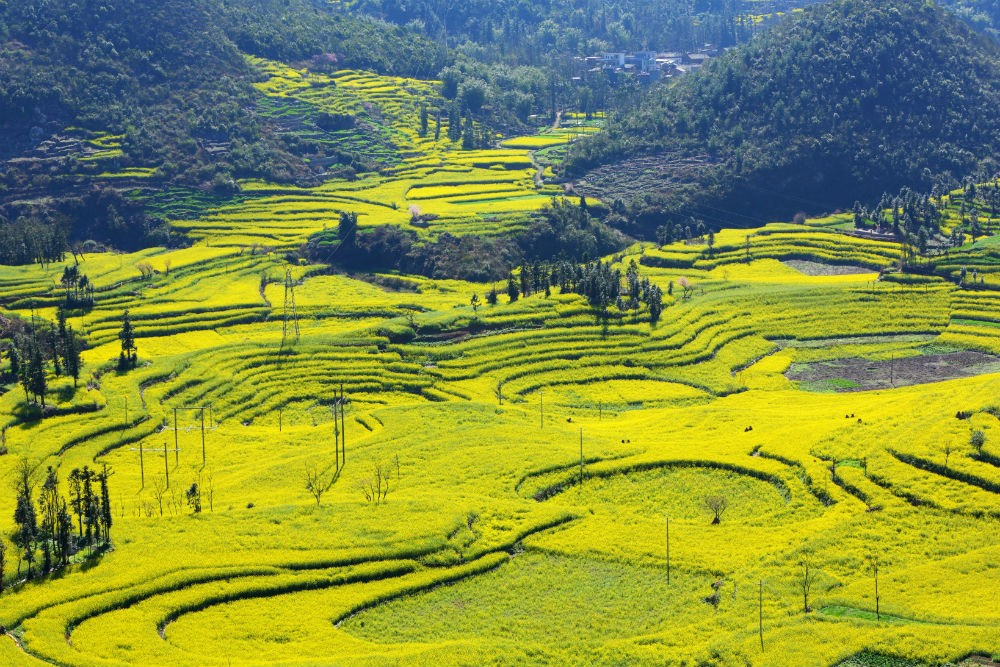 Rapeseed field in Luoping Yunnan, China