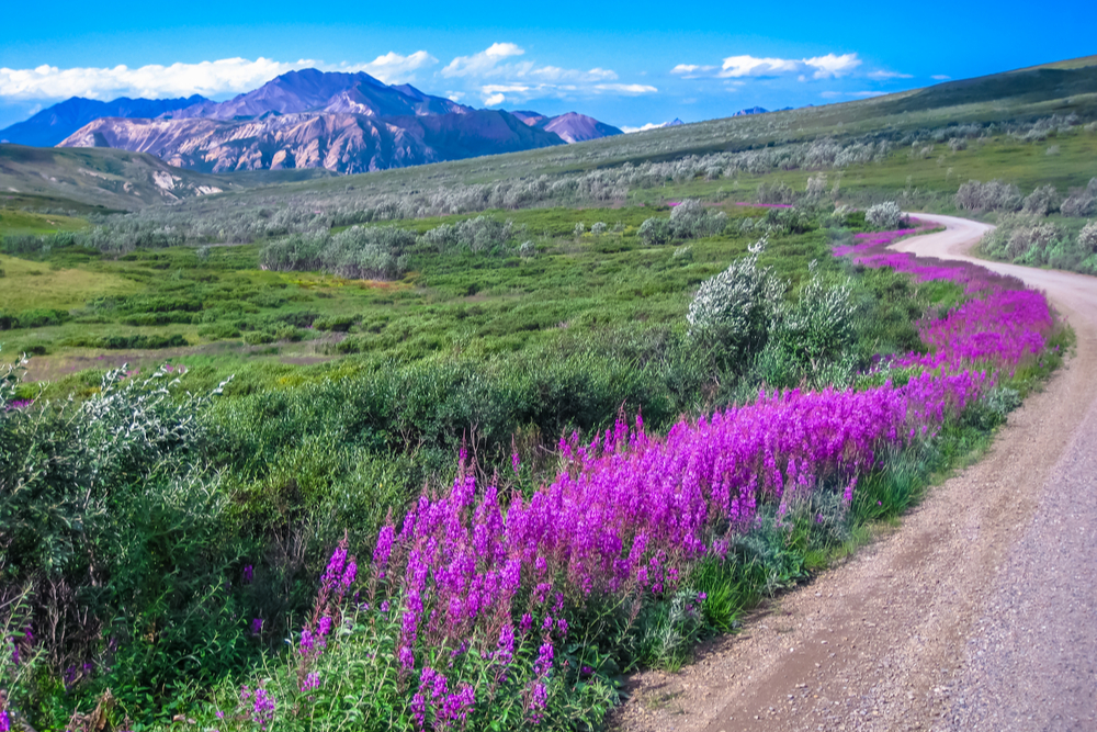 pink flowers and green plants blooming along a road with a mountain in the distance in Denali National Park Alaska
