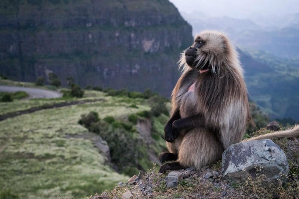Ethiopia - bleeding-heart baboon