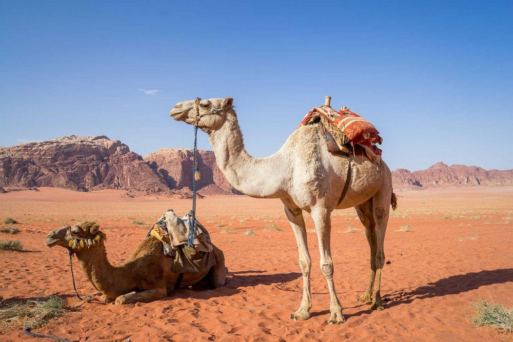 Camels in Jordan's Wadi Rum Desert