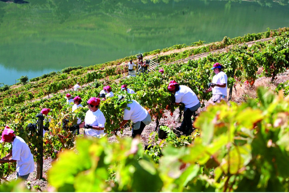Grape harvest in the Douro Valley, Portugal