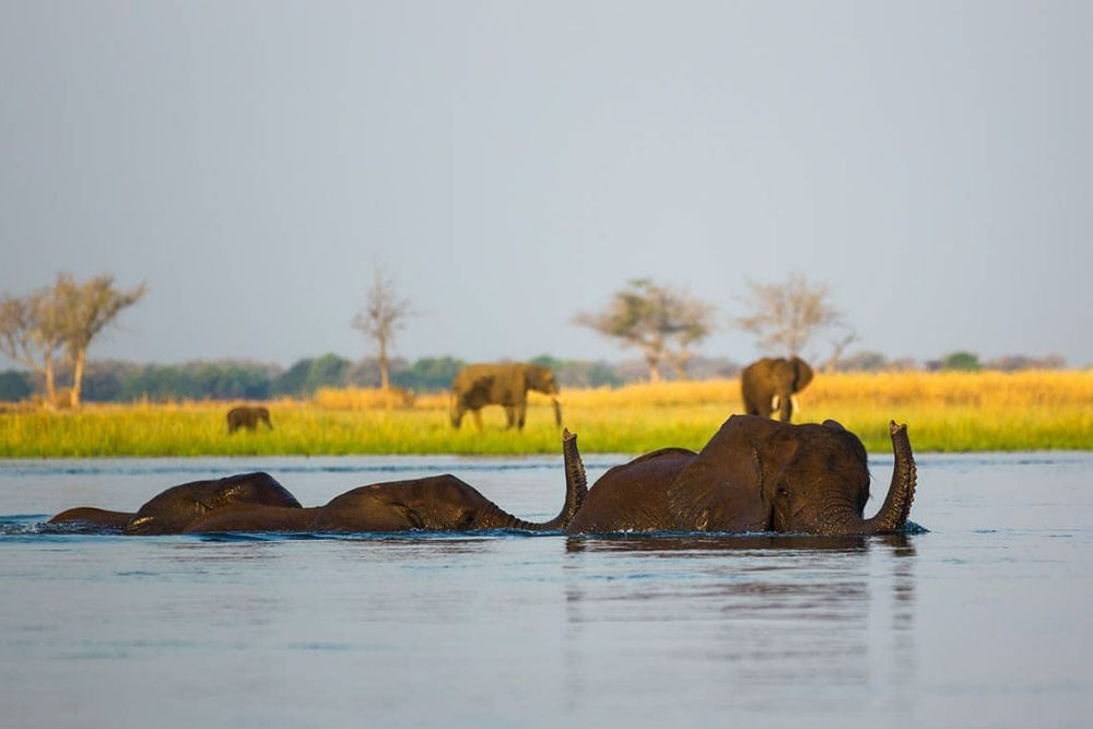 Elephants bathe in the Zambezi River, Zambia. Photo: Lower Zambezi National Park