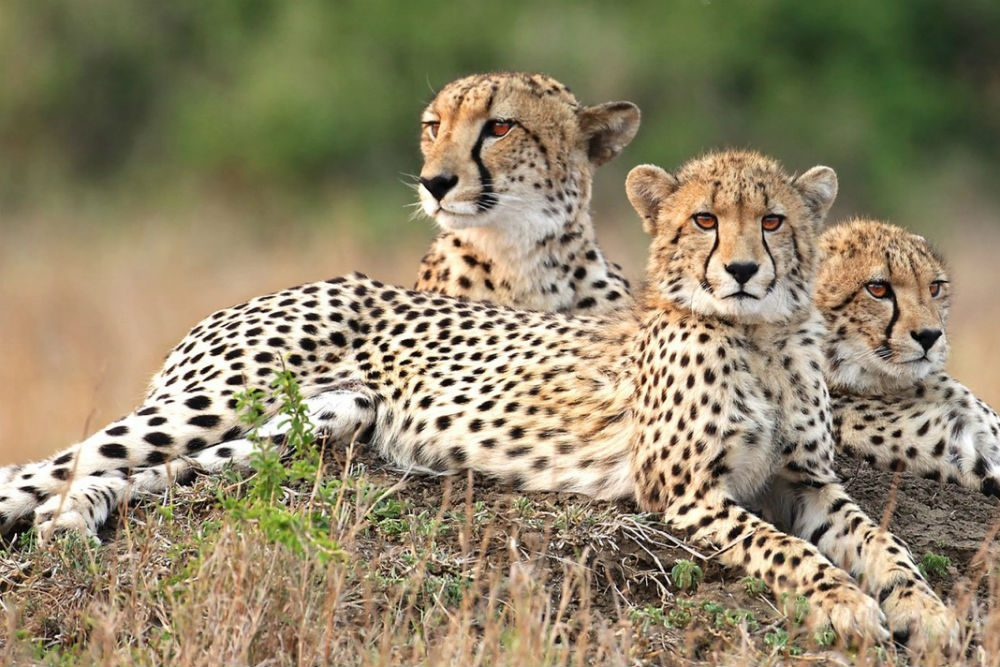 Three cheetahs lounging, Phinda Private Game Reserve, South Africa