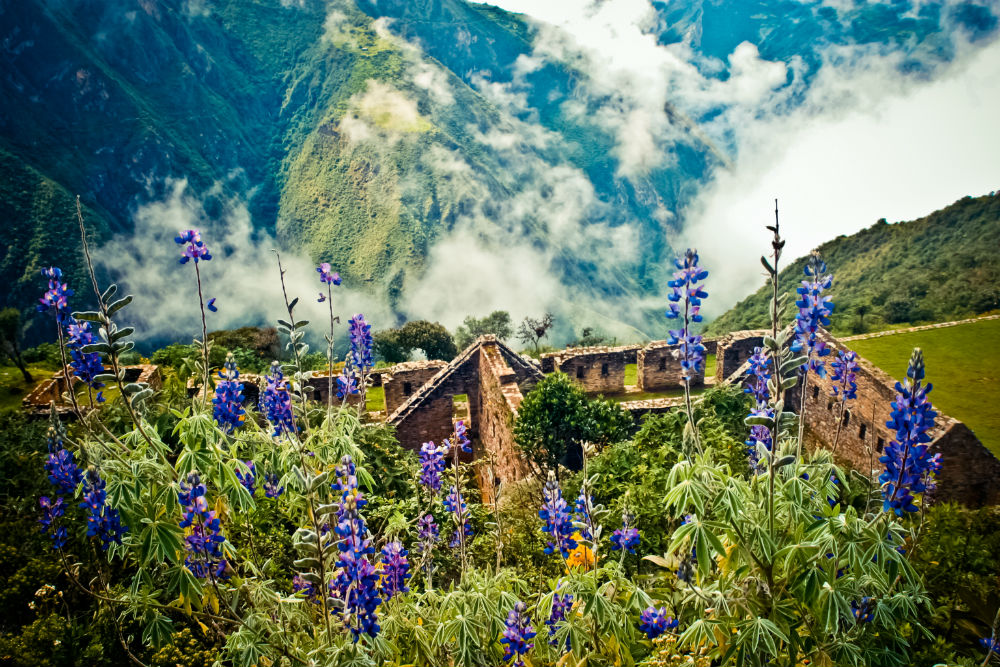 Lupins bloom above the ancient Inca ruins of Choquequirao in the Andes, Peru