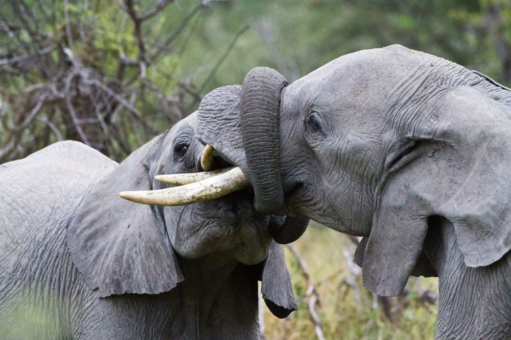 Elephants tussle in Botswana. Photo: Wilderness Safaris/Caroline Culbert