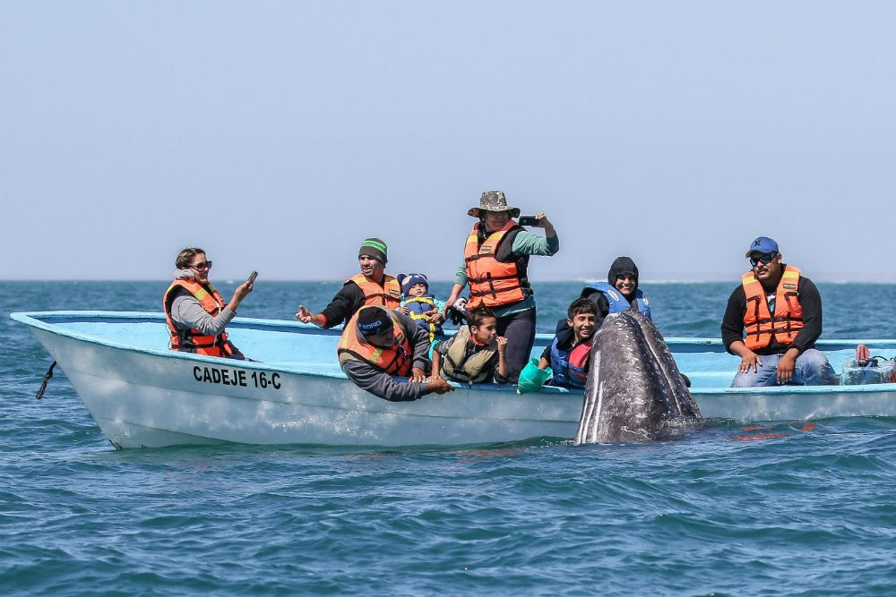 On a Baja cruise in February and early March, you'll catch the Pacific-gray-whale migration through Baja's lagoons