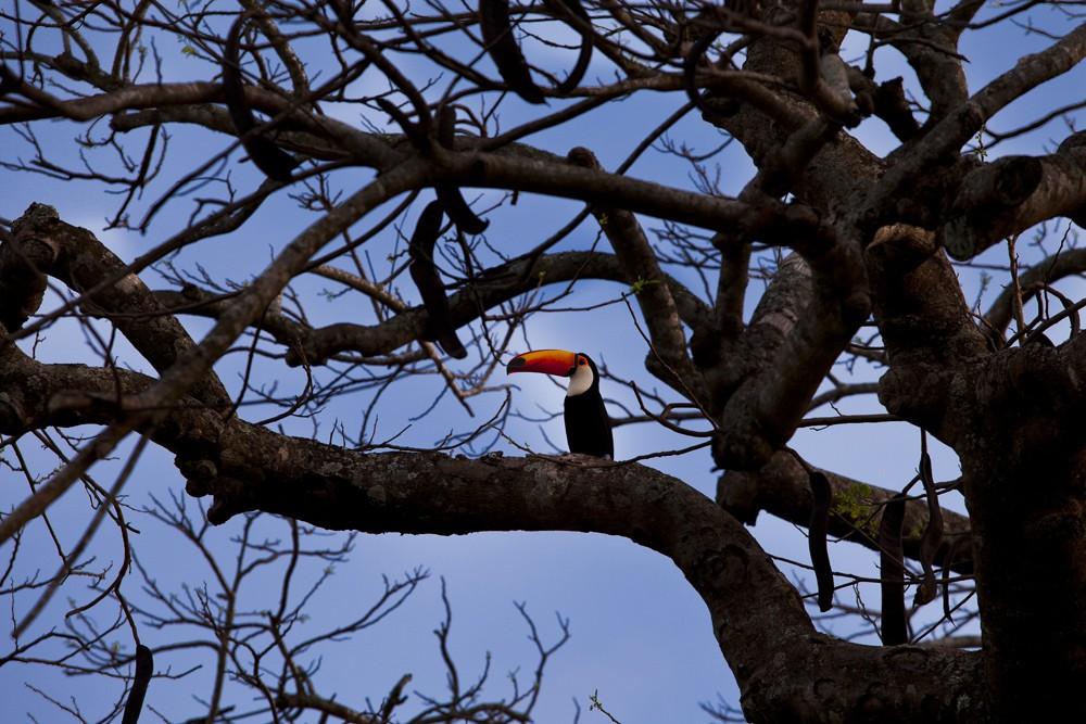 a toucan in Pantanal, Brazil. Photo: Matueté Brasil Travel Design
