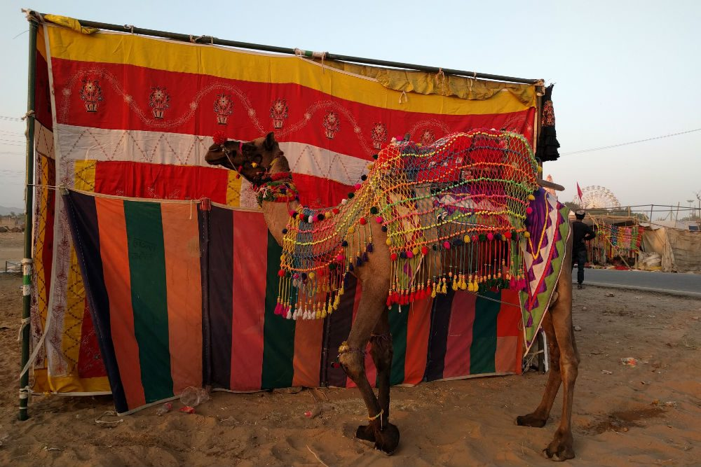 camel wearing colorful decorations in front of a tent at Pushkar Camel Fair india