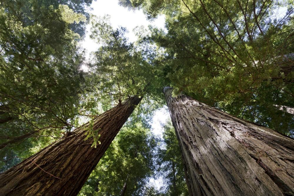 gigantic Redwood trees at Redwood National Park