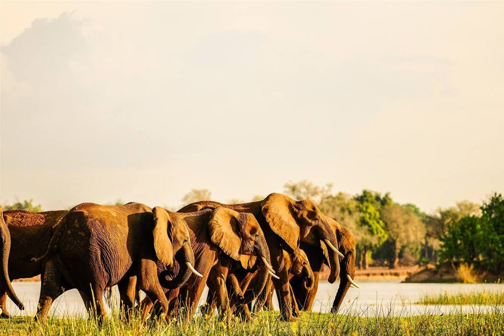 Elephants at the Royal Zambezi Lodge in Zambia Africa