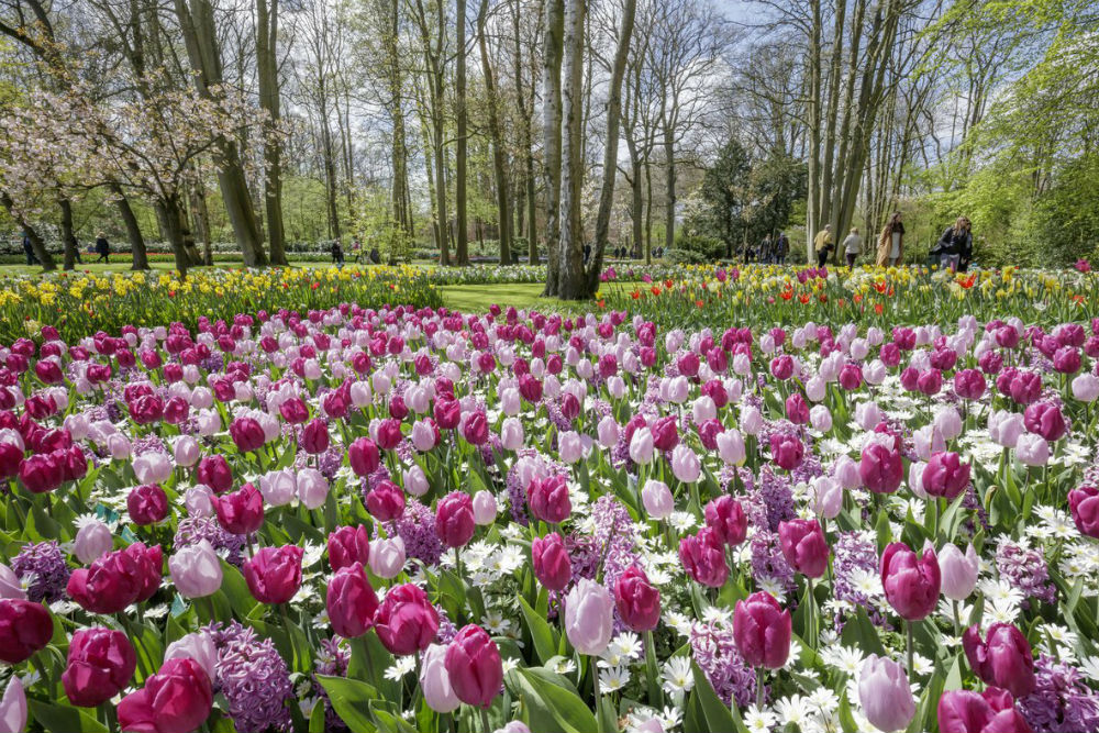 a field purple tulips in bloom at Tulips at Keukenhof Gardens Netherlands