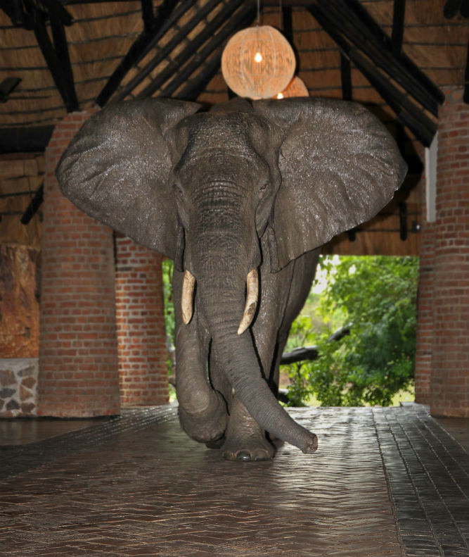 elephant walking through lobby of Mfuwe Lodge Zambia