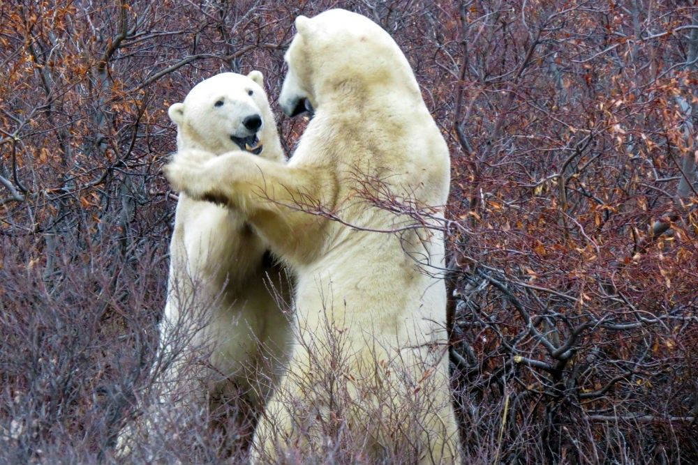 two polar bears sparring in Hudson Bay in Churchill, Canada,