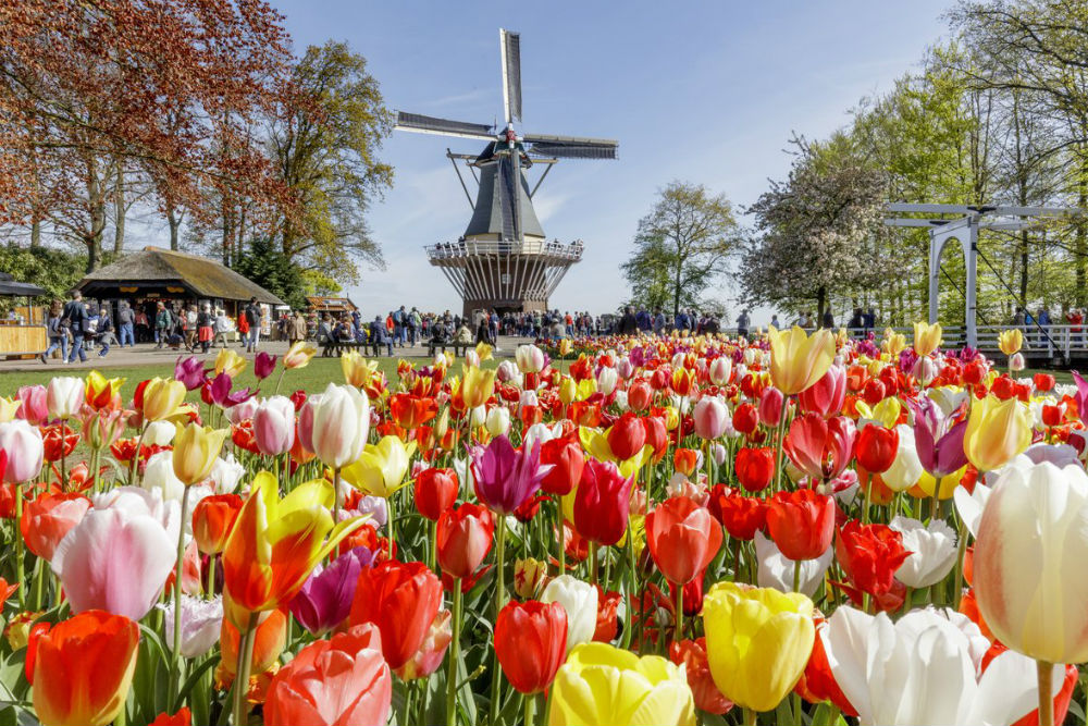 tulips and windmill at Keukenhof Gardens in the Netherlands
