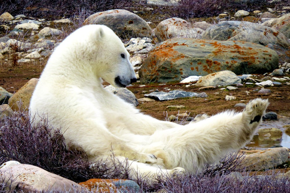 polar bear reclining in Hudson Bay in Churchill, Canada,