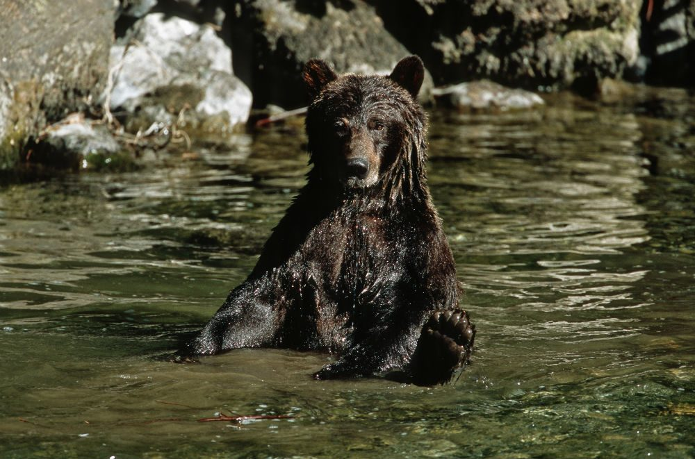 bear in river in British Columbia