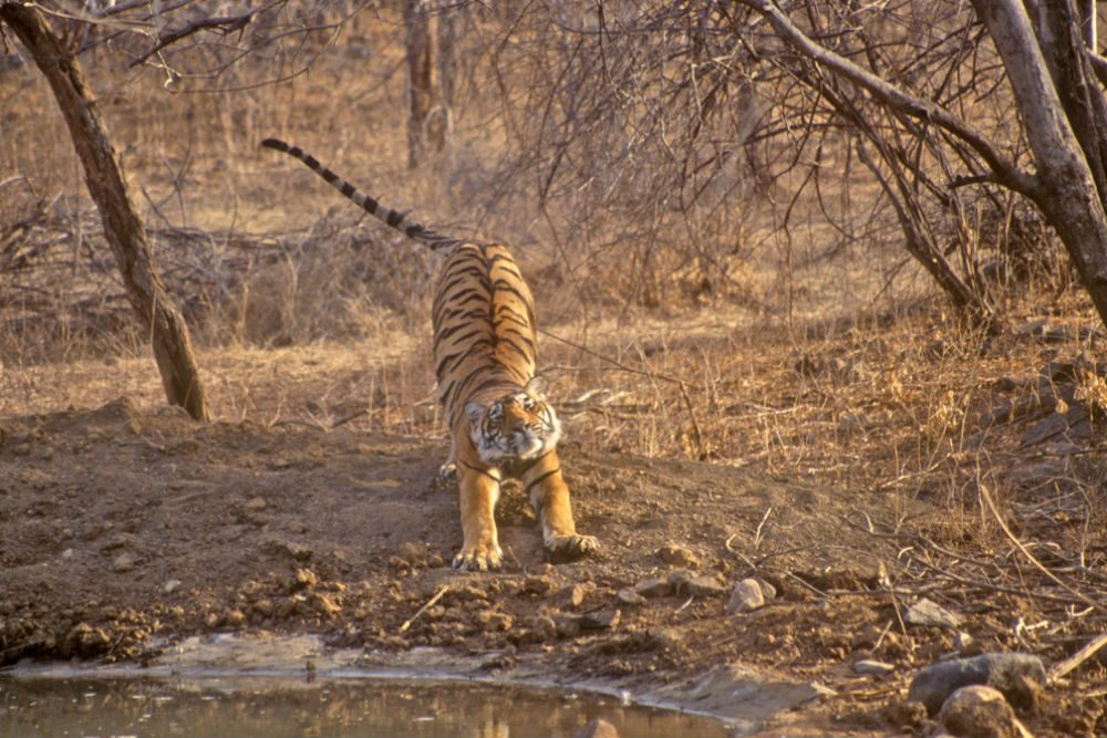 royal bengal tiger in the ranthambore tiger reserve in rajasthan india