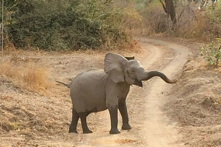 young elephant blocking the road in Zambia Africa