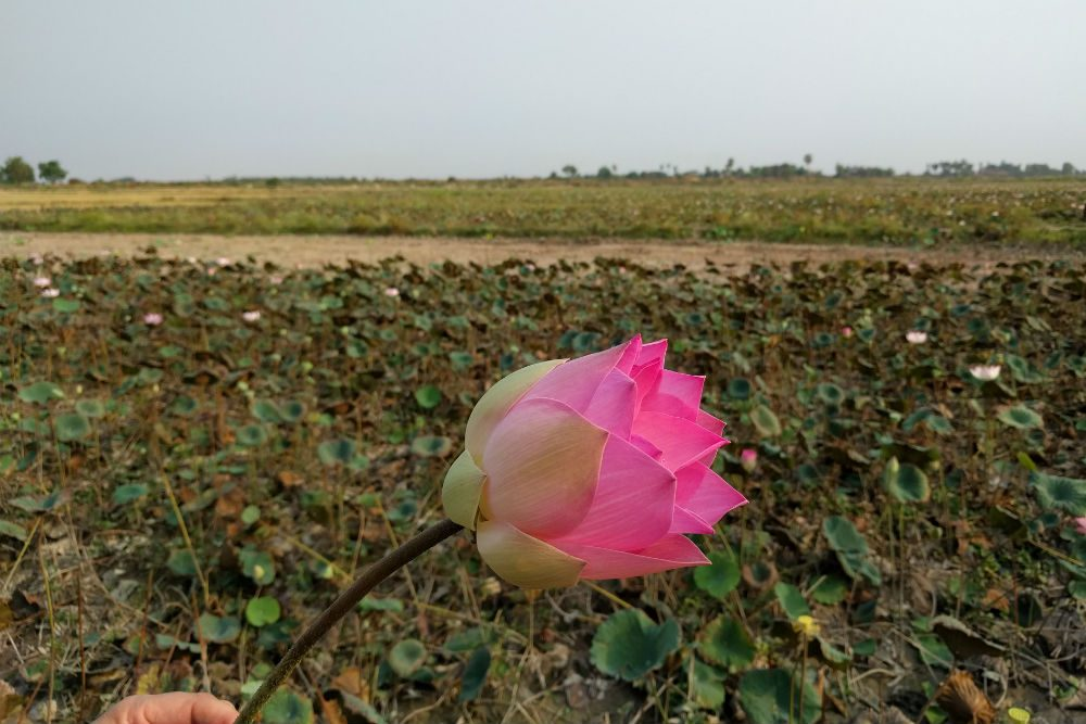 pink lotus flower in a field near siem reap cambodia
