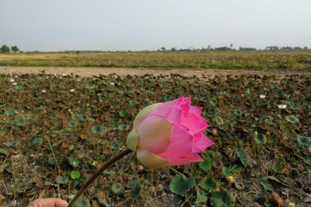 pink lotus flower in a field near siem reap cambodia