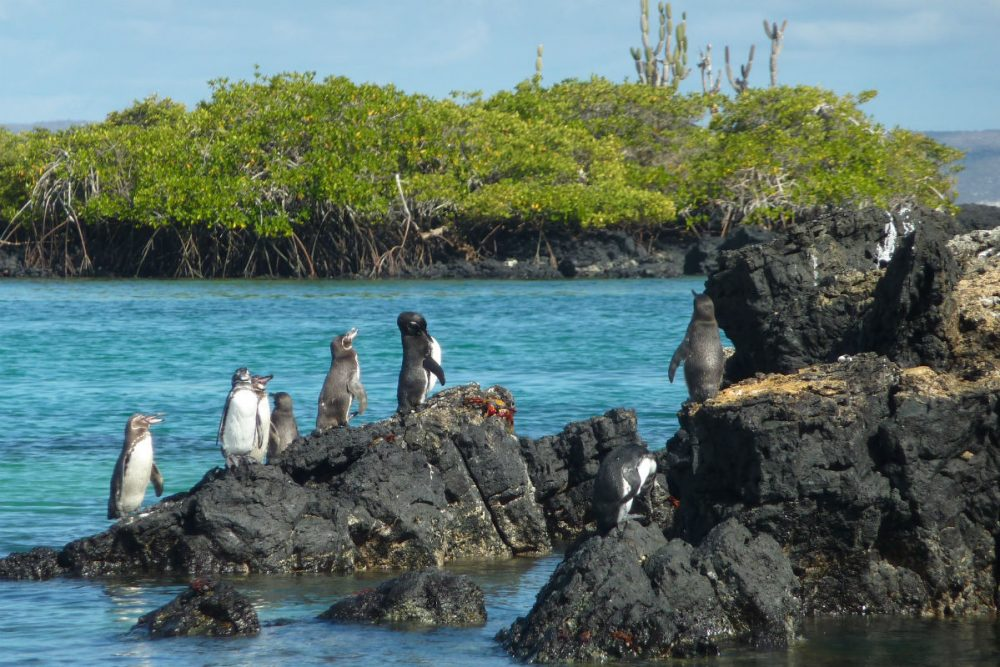 Galapagos penguins, Galapagos Islands Ecuador