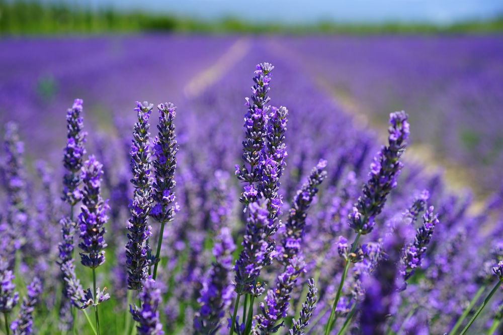 lavender fields in Provence, France photo by Hans at Pixabay