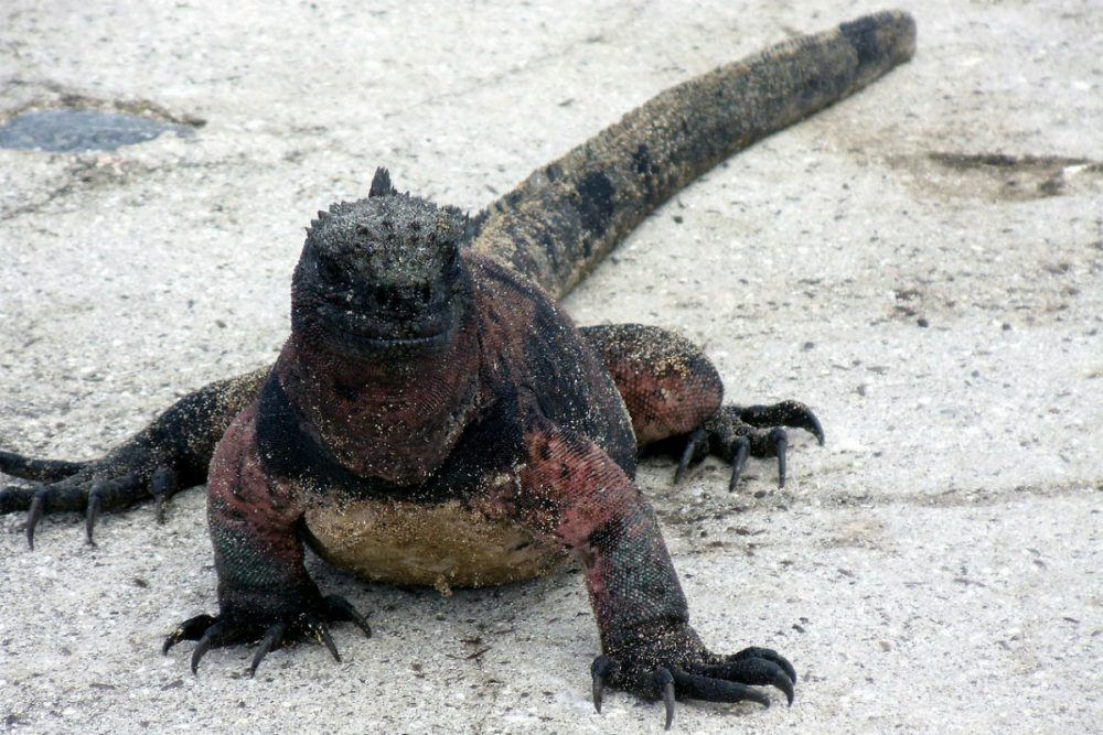 Iguana on the beach in the Galapagos Islands Ecuador