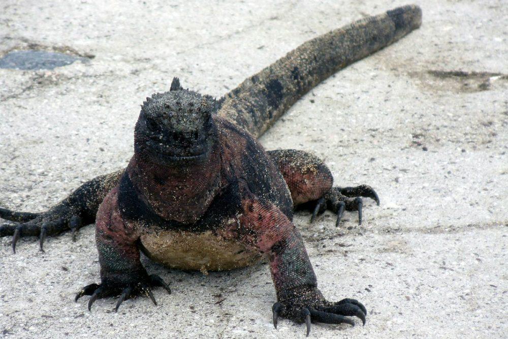 Iguana on the beach in the Galapagos Islands Ecuador