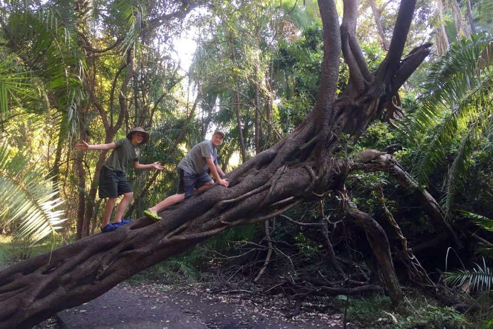 Around The Falls is rainforest with exotic foliage such as this Strangler Fig tree.