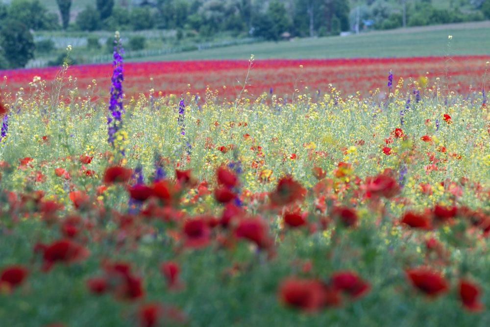 Wildflowers in bloom, Somova, Romania