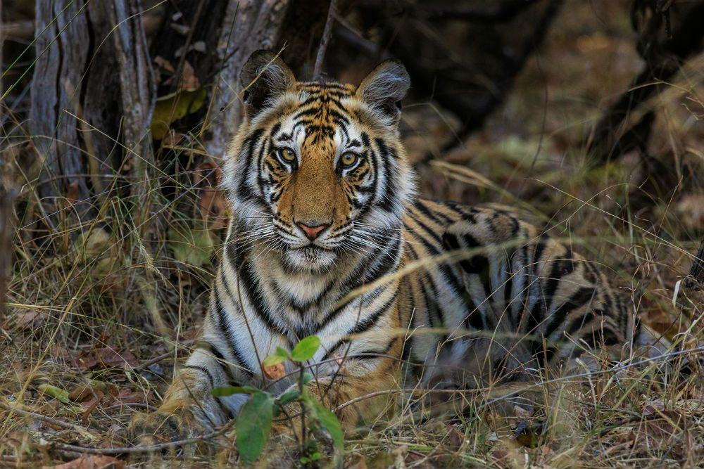 Royal Bengal tiger sitting in the grass looking directly at the camera, India