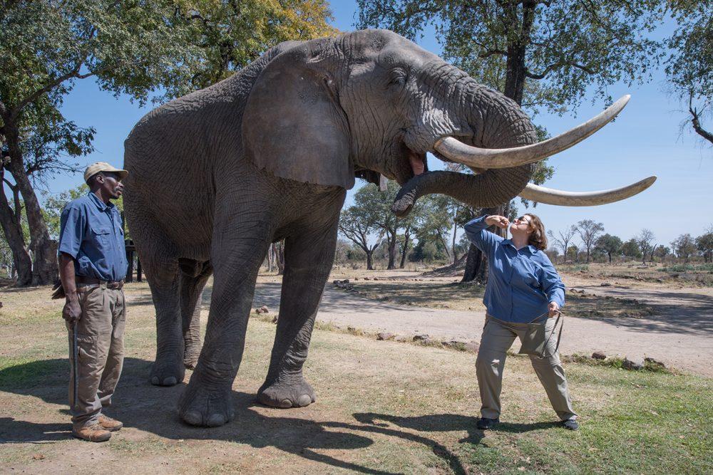 Zambia Elephant Cafe Wendy feeding elephant