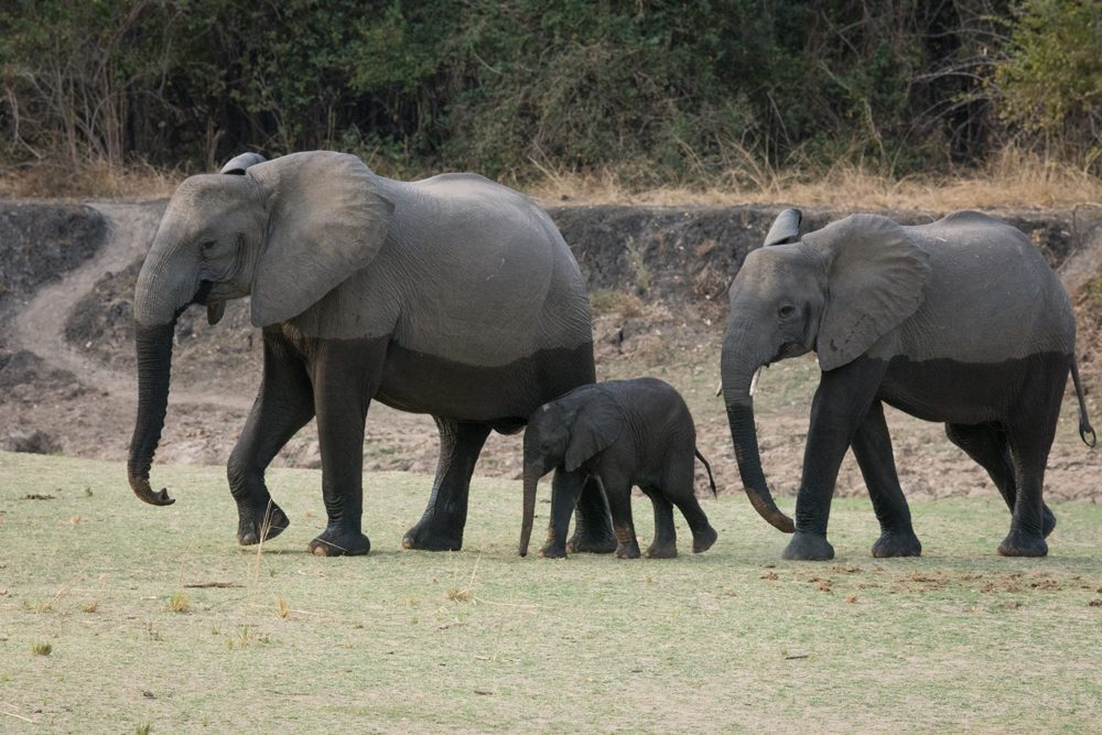 Zambia South Luangwa National Park elephants