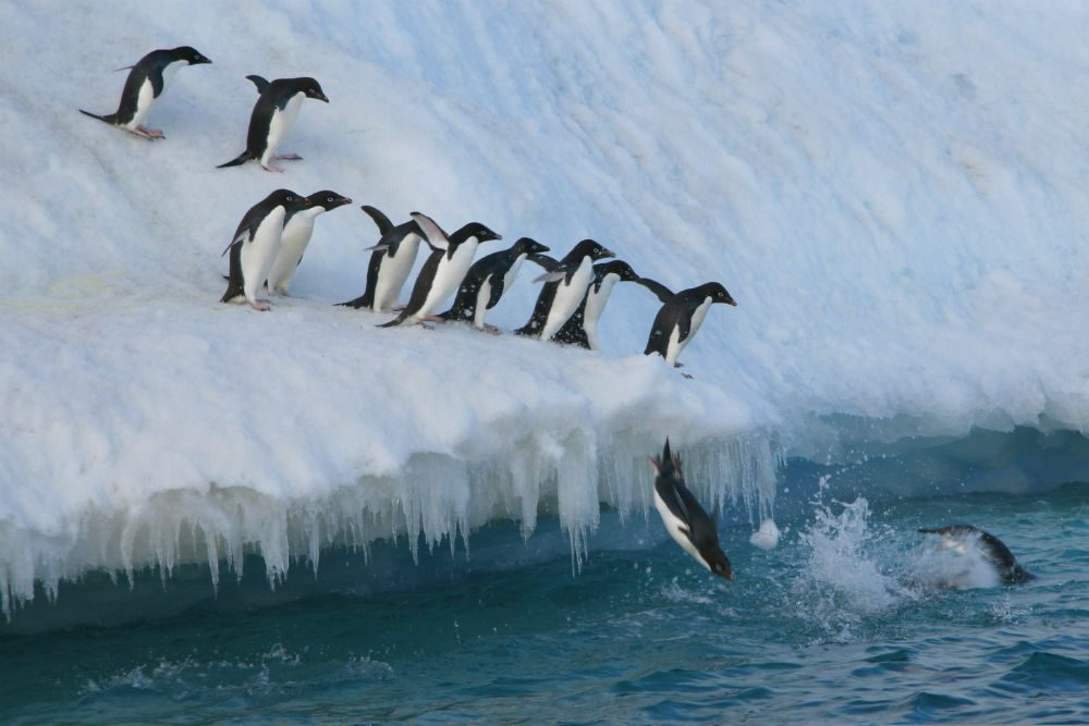 Adelie penguins jumping in to sea in Antarctica