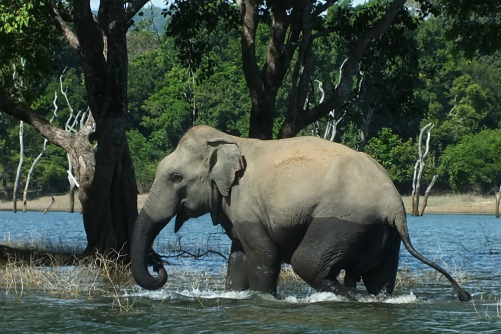 Elephants swimming during the Gal Oya boat safari, Sri Lanka
