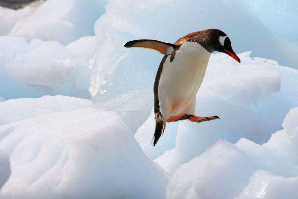 Gentoo penguin leaping over ice, Antarctica. Photo: ExpeditionTrips