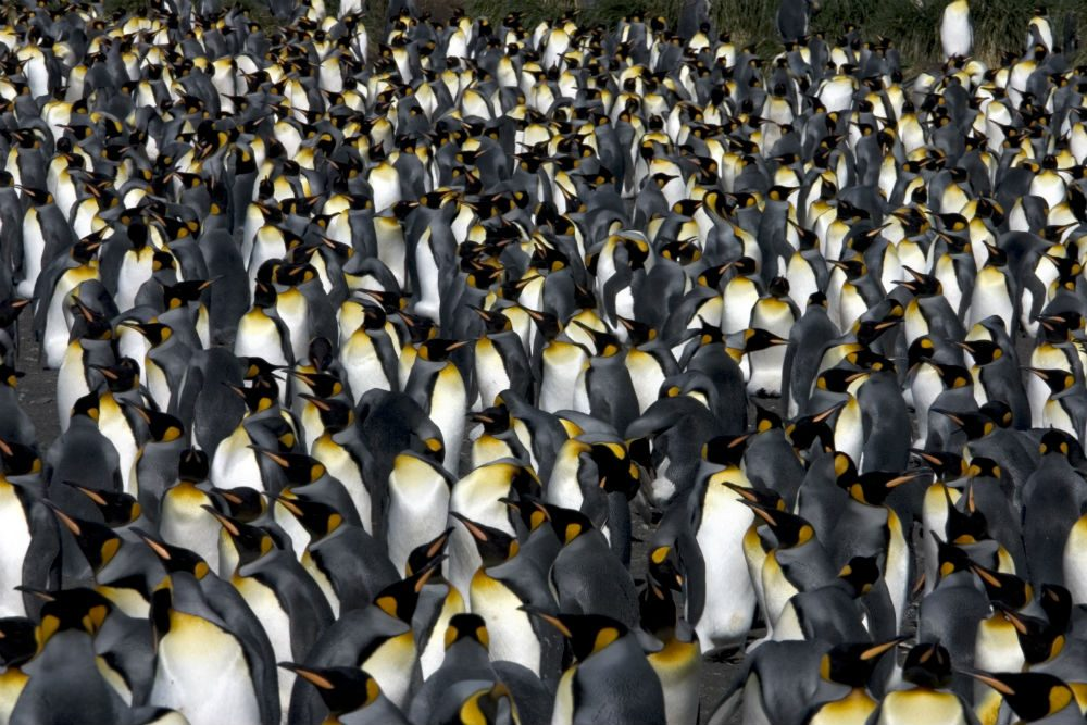 King penguins, South Georgia Island. Photo: ExpeditionTrips