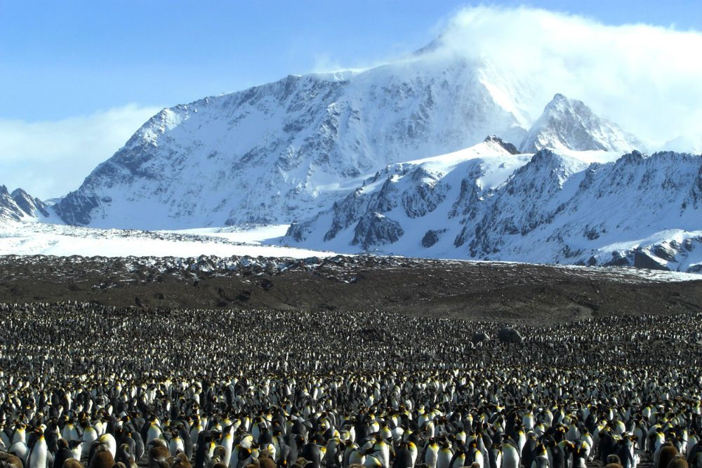 King penguins in St. Andrews Bay, South Georgia Island. Photo: ExpeditionTrips