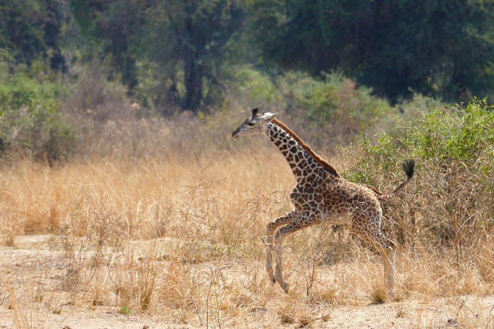 giraffe jumping in grass on zambia safari in africa