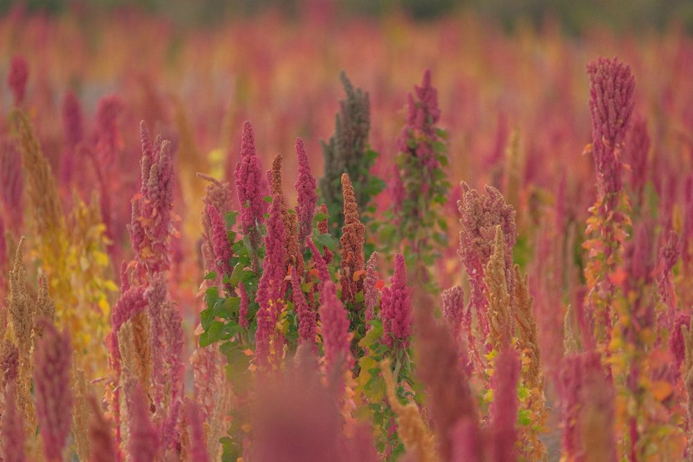 The quinoa fields around Lake Titicaca are surprisingly colorful. Bolivia