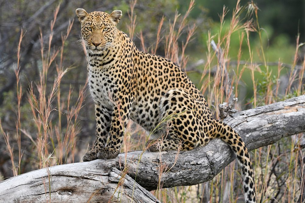 Africa Safari leopard. Photo: Tony Forcella