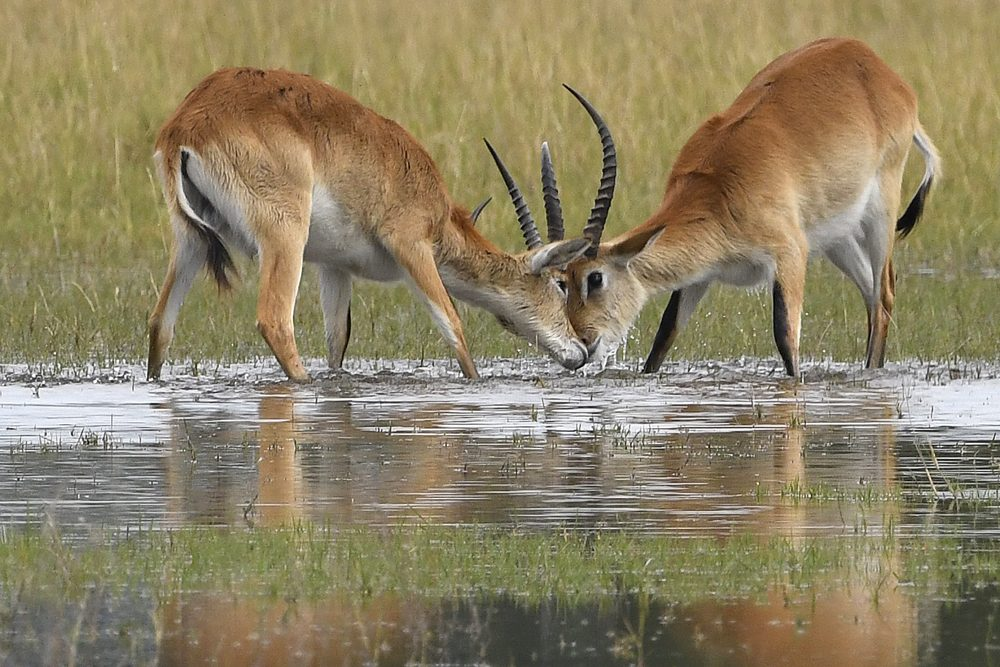 Africa safari antelope in water. Photo: Tony Forcella