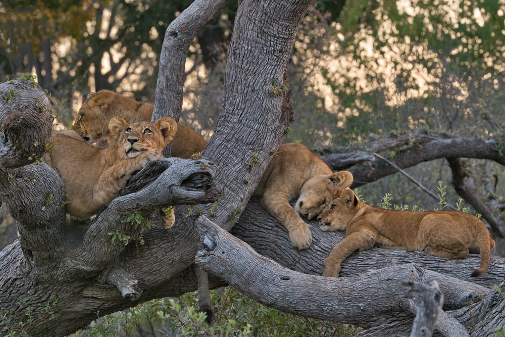 Africa safari lions in tree. Photo: Tony Forcella