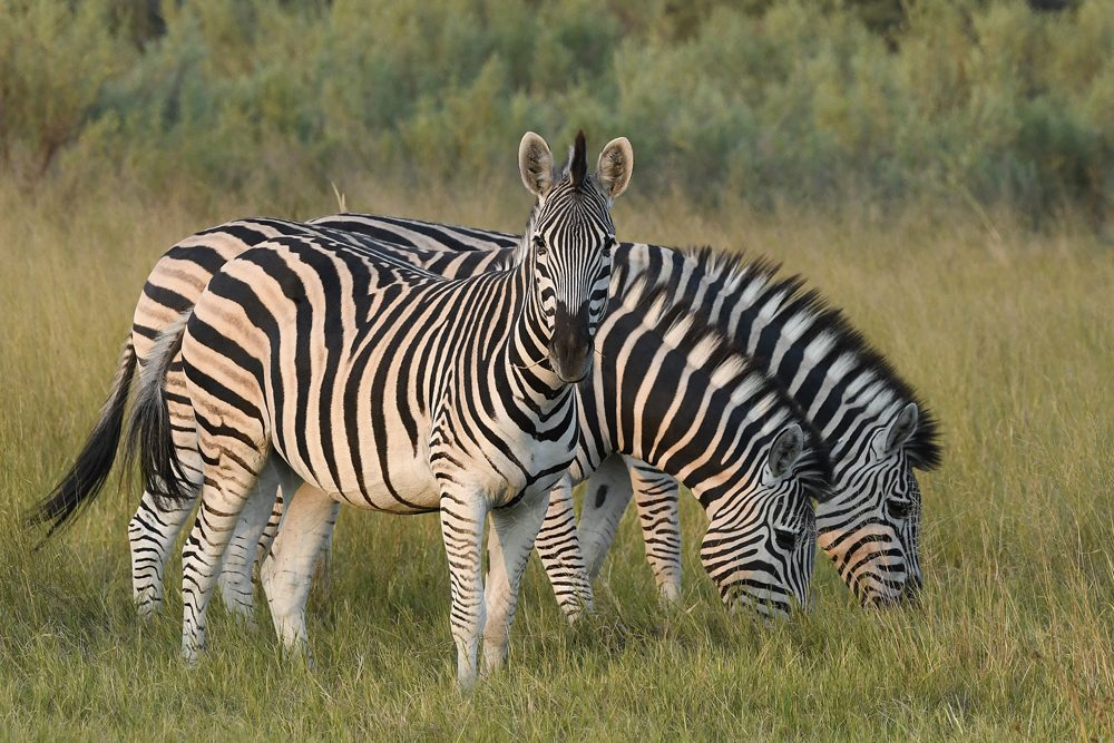Africa safari zebras. Photo: Tony Forcella
