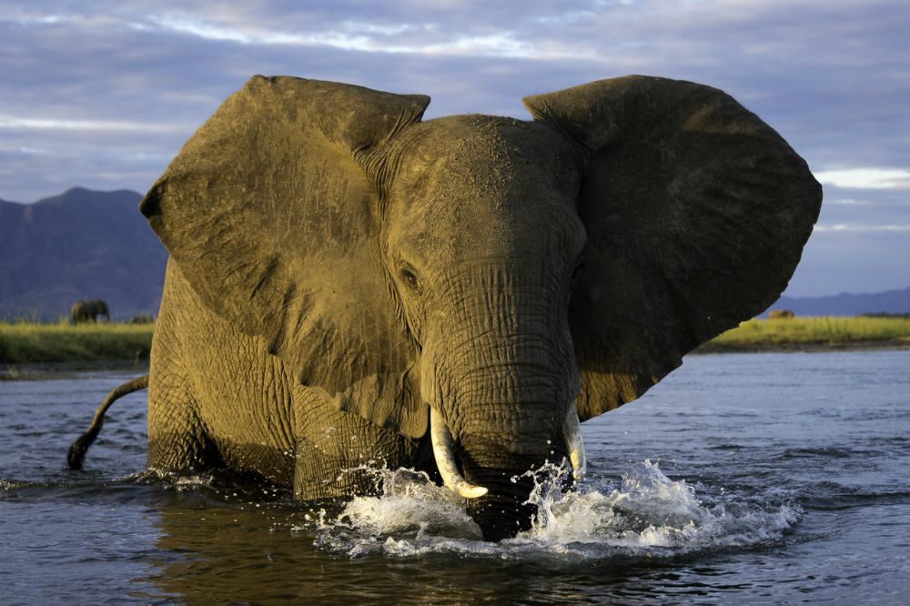 elephant close-up in Zambezi river in Zimbabwe