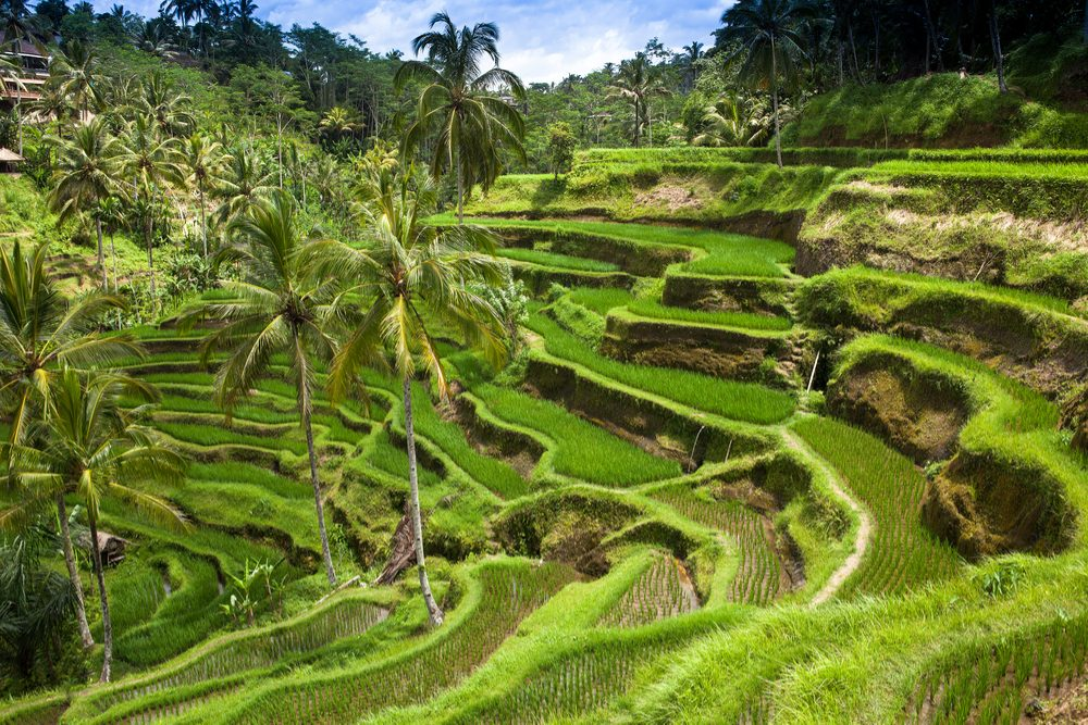 Green rice fields on Bali island Indonesia
