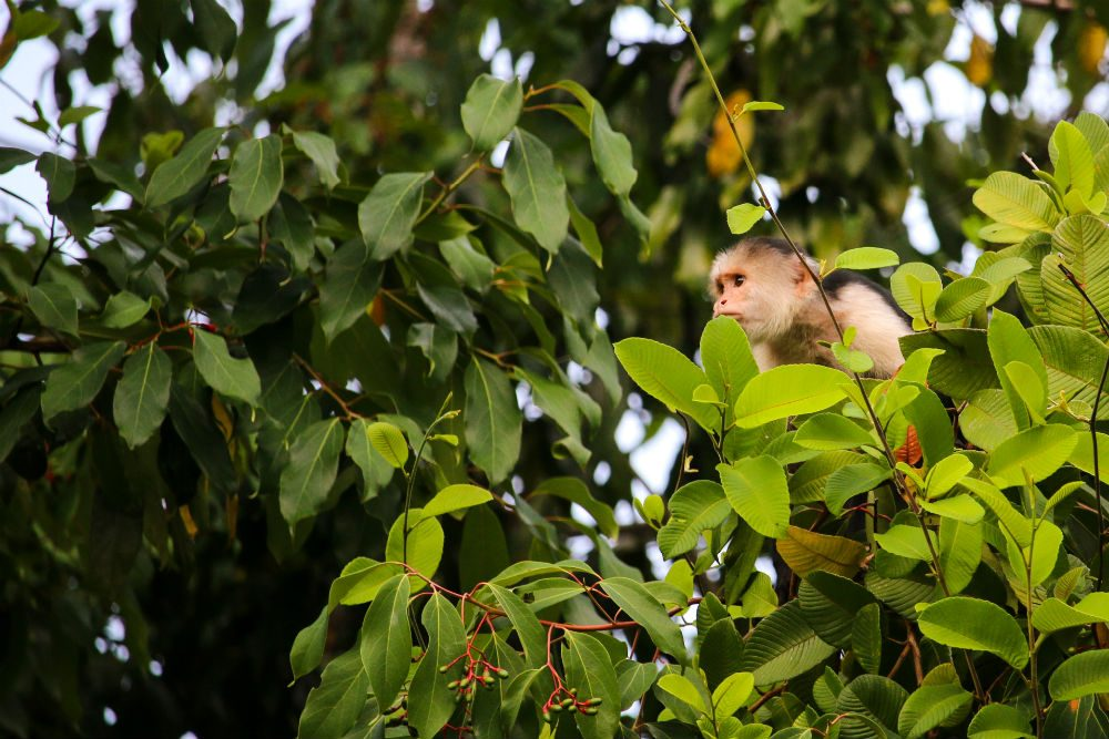 A capuchin monkey in a tree on Costa Rica's Osa Peninsula