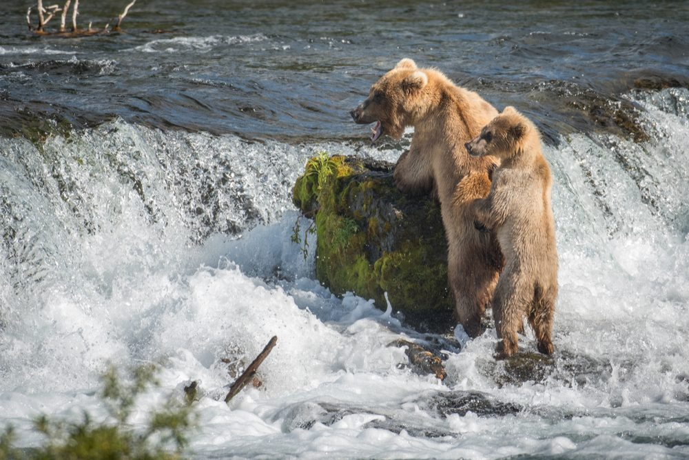 Alaskan brown bear sow and its cub at Brooks Falls in katmai National Park, Alaska