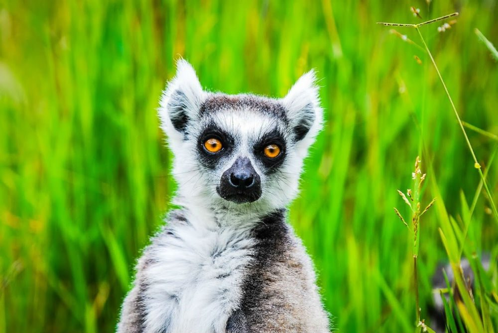 Ring-tailed lemur looks directly at the camera in Madagascar