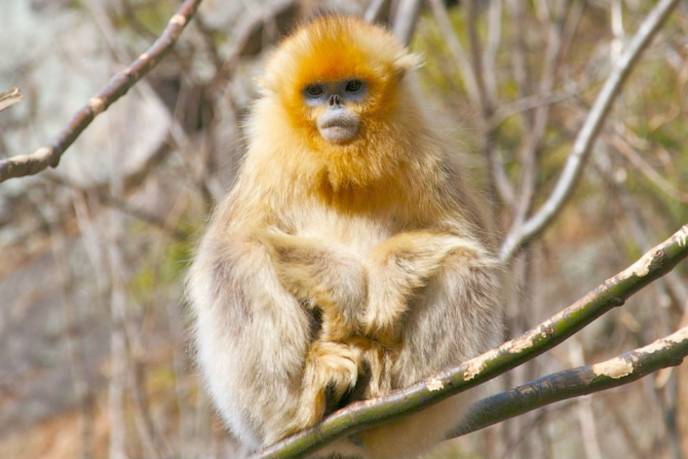 Golden Monkeys in Yunnan Province's forests, China